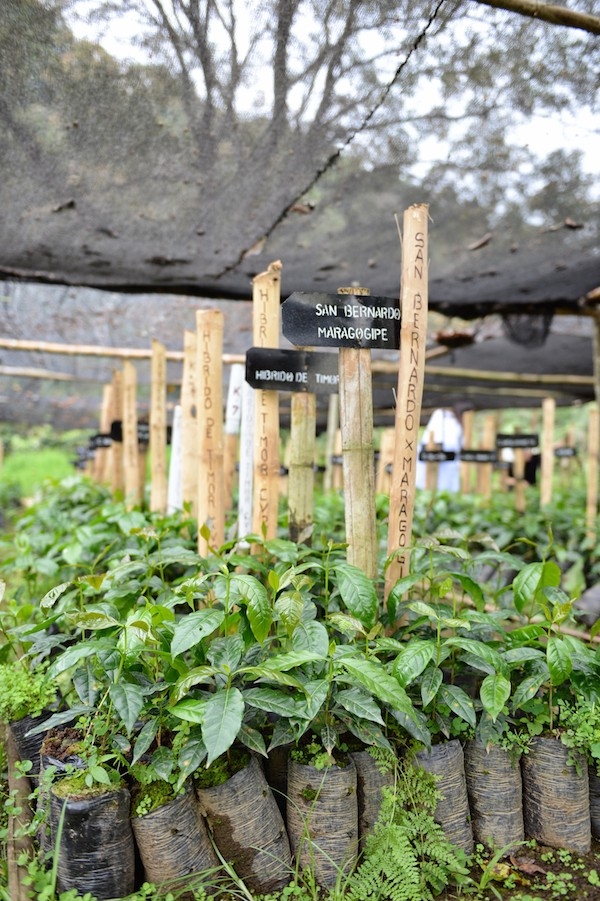 Venecia, Antioquia, Colombia - Coffee Plants. Photo by Mark Shimahara.