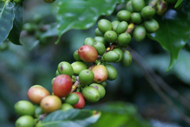 cafe de honduras