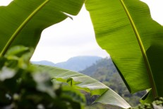 The view at La Aurora through the top of a banana tree