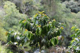 Coffee tree at Los Aguacates