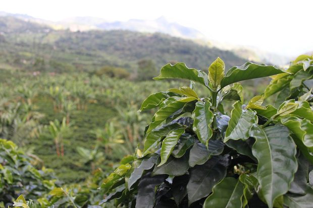 coffee insurance for colombian farmers