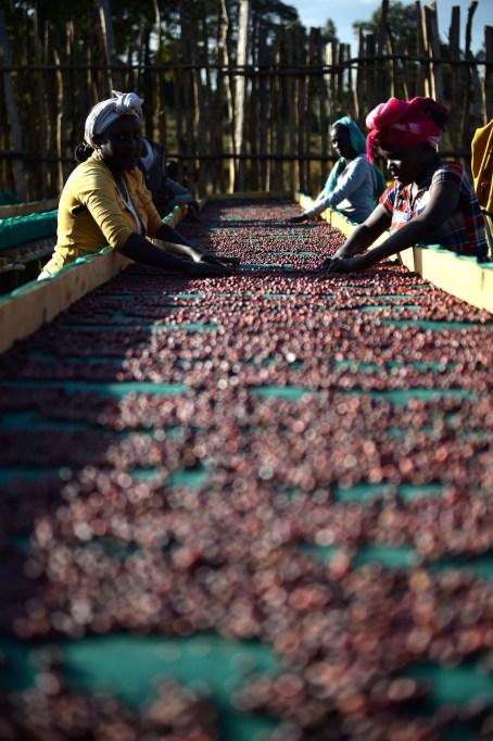 Natural coffee being dried at Kerchanshe Trading's washing station in Anasora. Photo by Mark Shimahara/Daily Coffee News