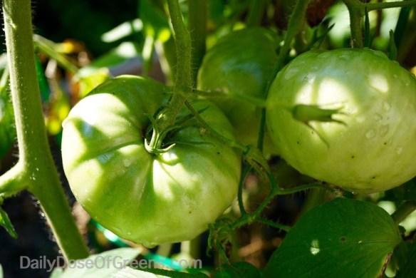 garden, tomatoes