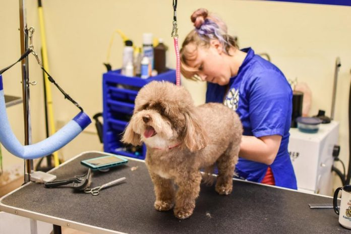 Lead+Groomer+Alix+Shackelford+grooms+Rocko%2C+a+curly-haired+Havanese%2C+Monday+morning+at+Amber%27s+Grooming+Salon.+