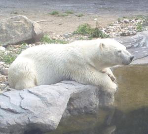 Guest Writer Wednesday June 21, 2016 Polar Bear Arrives in Haifa, Claims Asylum Daily Freier