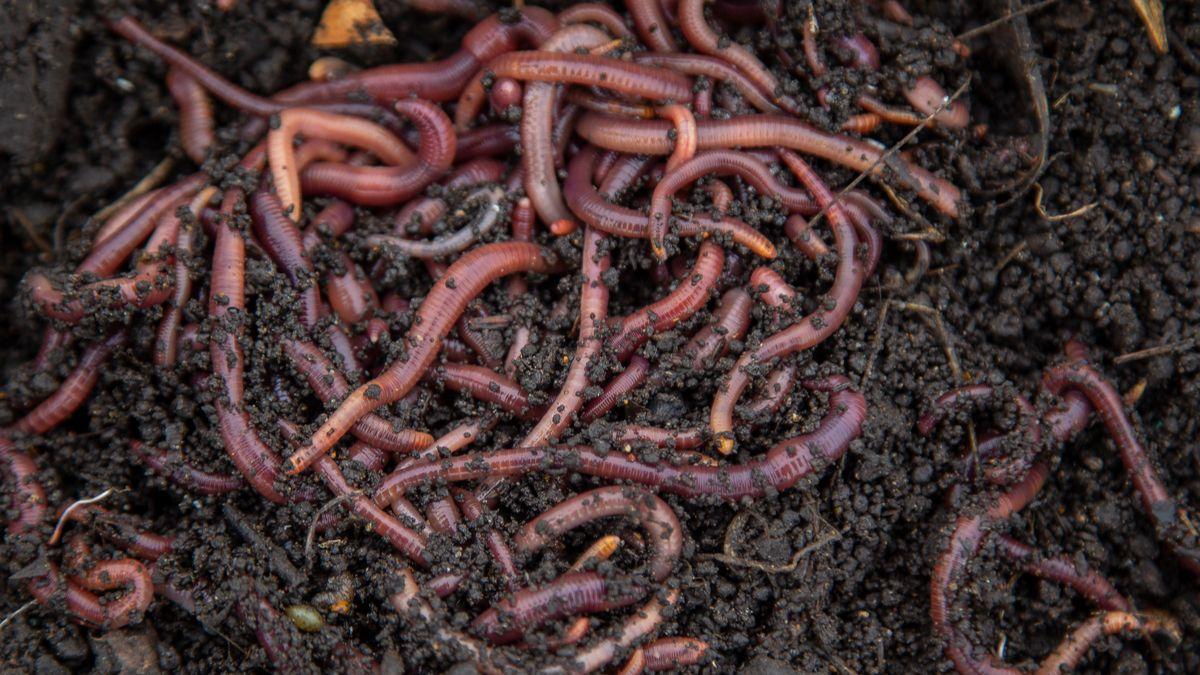 Des vers de terre sauteurs très nuisibles ont maintenant envahi 15 États américains
