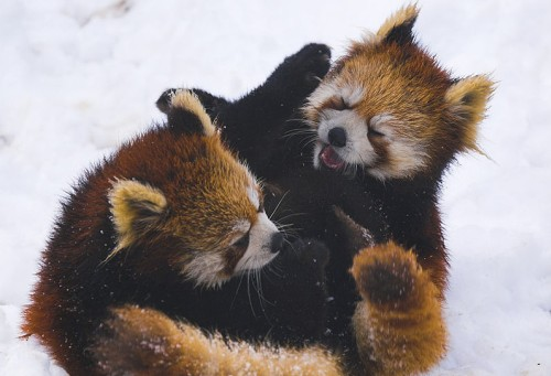 Cute Wallpaper Recycling Red Panda Facts Endangered Species