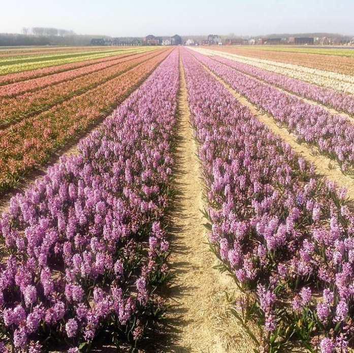 Bulb Flowers Flevoland