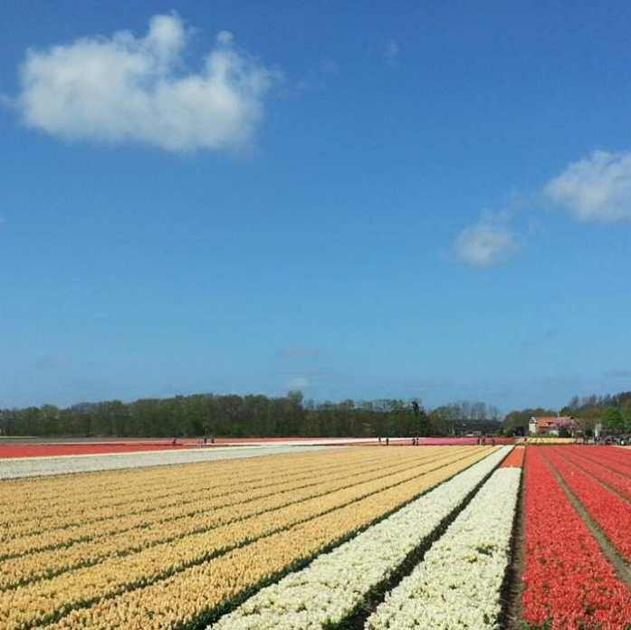 Flower Bulbs Hillegom and Lisse