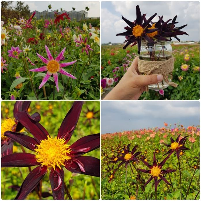 Dahlias FamFlowerFarm DailyGreenspiration