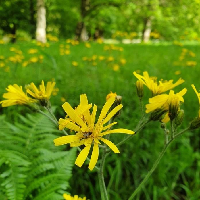 wilde bloemen havikskruid
