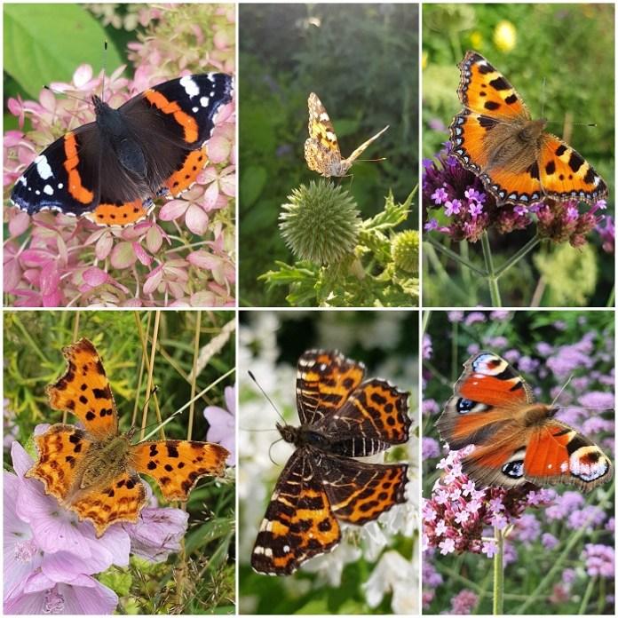 vlinders brandnetel waardplant