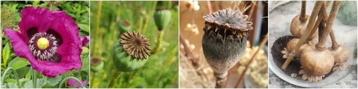 zaden van planten - papaver
