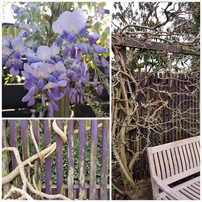 schutting met blauweregen wisteria