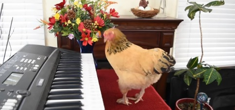 Chicken Plays Operatic Aria on Piano Keyboard [VIDEO]