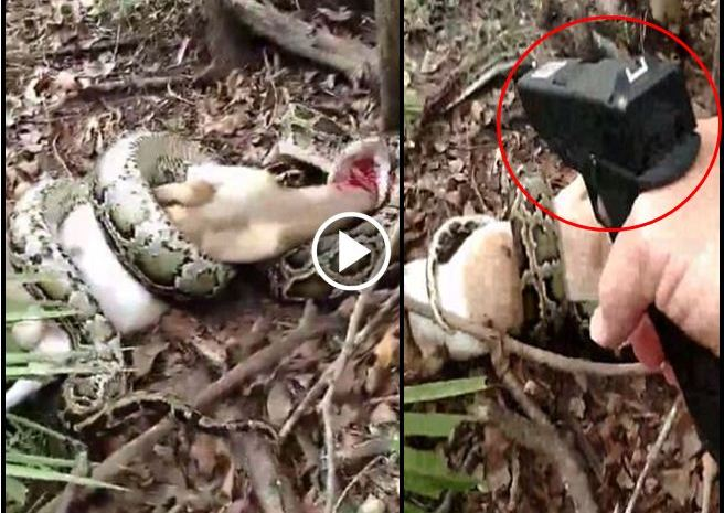 Florida Woman Finds 12 Foot Python Killing Her Goat [VIDEO]