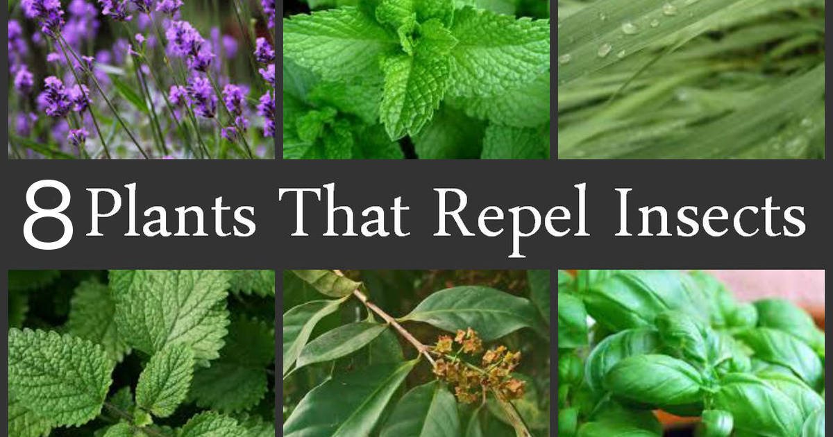 Repel Mosquitoes Naturally With These 8 Plants