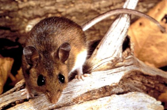 deer-mouse-peromyscus-maniculatus-reservoir-and-transmitter-of-the-hantavirus-725x477