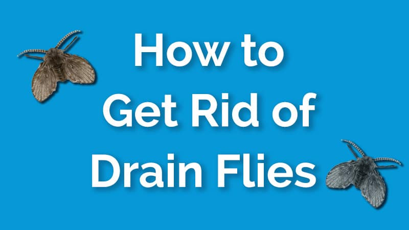 How To Get Rid Of Drain Flies Fast And For Good A Step By Step Guide Dailyhomesafety