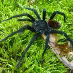 Marquez-tarantula-male