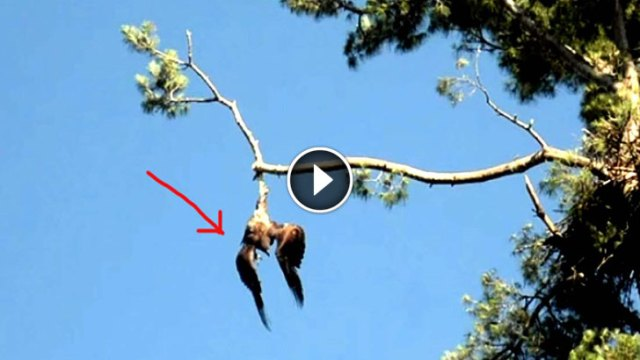 Image result for Town Refuses To Help A Poor Eagle Hanging From A Tree. But Watch What This Army Veteran Does…
