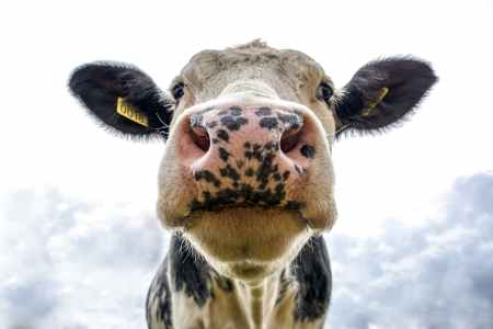 black and white dairy cow s head