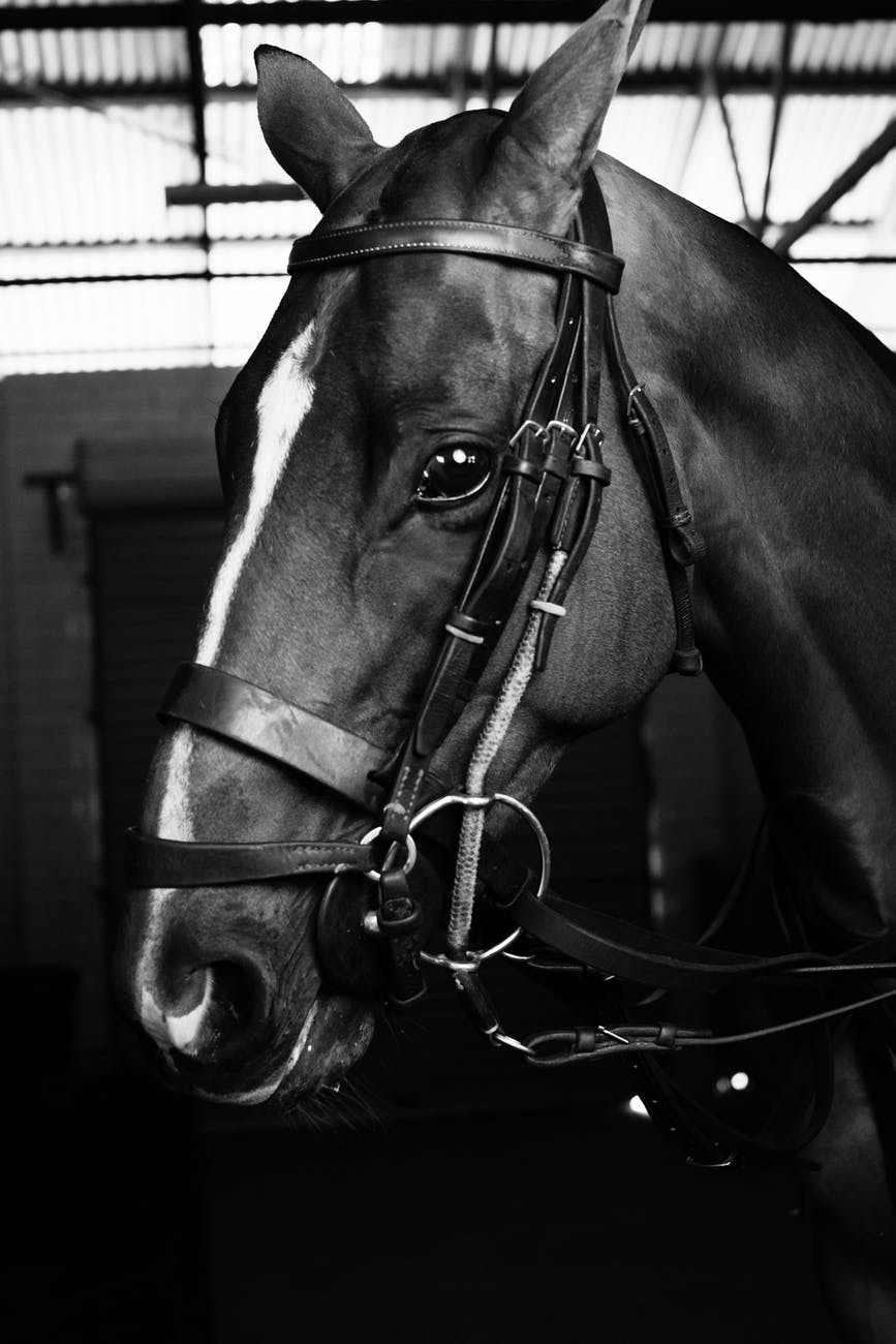 horse with halter in stable