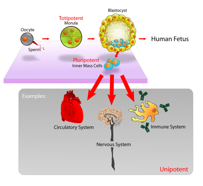 Cells Regeneration: 4 Types of tissue in the Human Body 7 - Daily Medicos