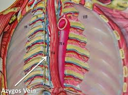 Anatomy of Azygos Vein: Easy to Understand for Medical Students 37 - Daily Medicos