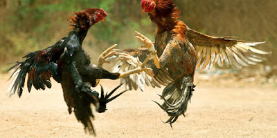 Cock kills owner during cockfight in India