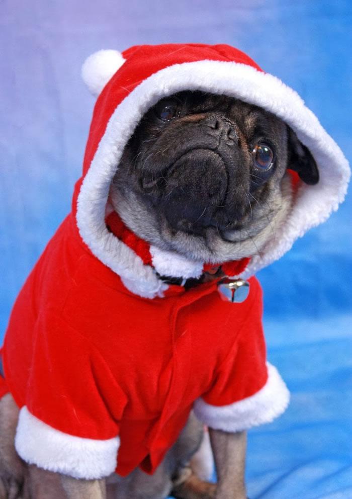 25 Christmas Card Pugs Wish You A Merry Christmas