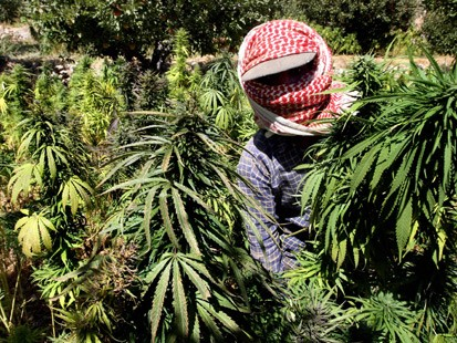 Lebanese farmers harvests cannabis plants at a place somewhere in the Bekaa Valley (File photo) AFP PHOTO / Ramzi Haidar