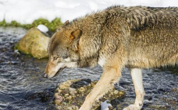 بھیڑیے دریاﺅں کو کس طرح تبدیل کردیتے ہیں؟ سائنس کی تازہ دریافت جان کر آپ قدرت کے نظام پر دنگ رہ جائیں گے