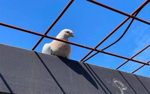 امریکہ سے آٹھ ہزار میل کا سفر طے کر کے آسٹریلیا آنے والے کبوتر کو سیکیورٹی رسک قرار دے دیا گیا ،انتہائی دلچسپ خبر آگئی