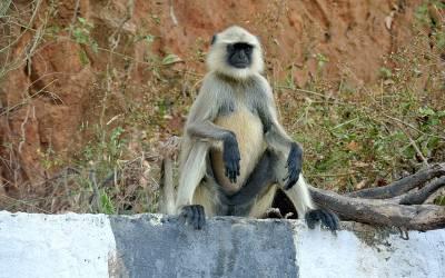 بھارت میں لنگوروں کو بھگانے کیلئے ائیرپورٹ انتظامیہ کا انوکھا اقدام، ایسا کام کردکھایا کہ آپ کیلئے بھی ہنسی روکنا مشکل