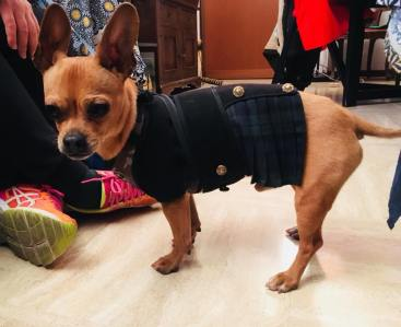 My dog Giuliano wearing a Scottish kilt coat. Isn't he lovely, ISN'T HE LOVELYYYYY