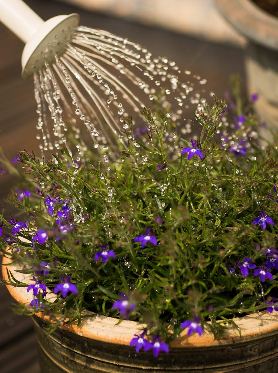 person watering purple flowering plant