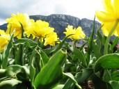 Yellow Flowers in Squamish, British Columbia