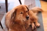 Chester J. Lampwick, the orange-est dog.