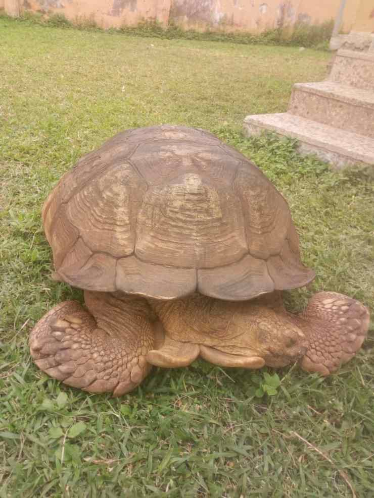 344-year-old Ogbomoso palace tortoise, Alagba is dead [PHOTOS] 344-year-old Ogbomoso palace tortoise, Alagba is dead [PHOTOS] IMG 20191003 WA0007