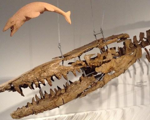 Le mâchoire d'Hainosaurus fait 1,6 mètre.