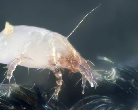 Acarien domestique : Dermatophagoides pteronyssinus