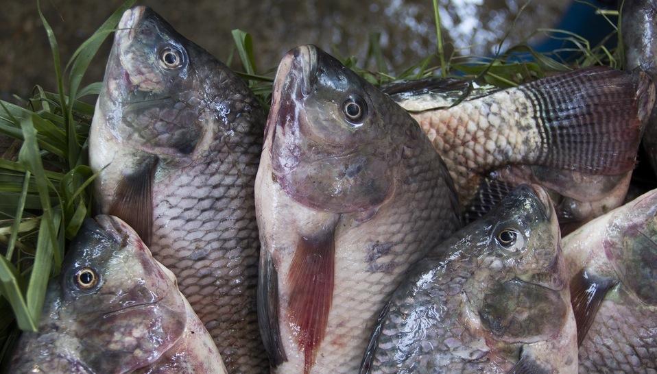 Le tilapia est un des poissons d'élevage auquel s'intéresse l'équipe louvaniste. © Samuel STACEY CC-BY-NC-ND 20