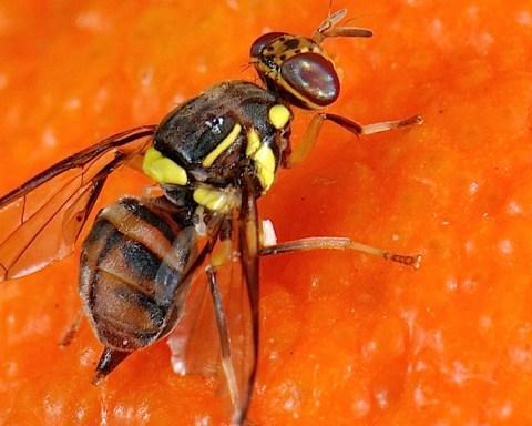 Les quatre espèces jadis distinctes de mouches de fruits s'appellent désormais toutes Bactrocera dorsalis. © Ana Rodriguez