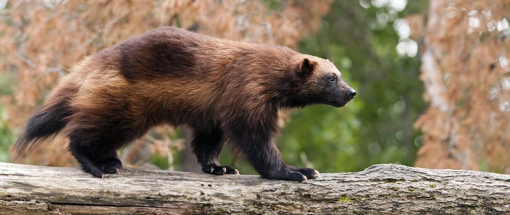 Un couple de gloutons est arrivé en début d'année à Han-sur-Lesse, avec un objectif, la conservation de cette espèce.