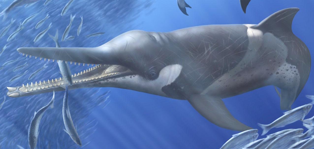 Reconstitution artistique d'une baleine à bec éteinte Messapicetus gregarius. Elle se nourrissait de sardines, le long de l'actuelle côte péruvienne. © A. Gennari