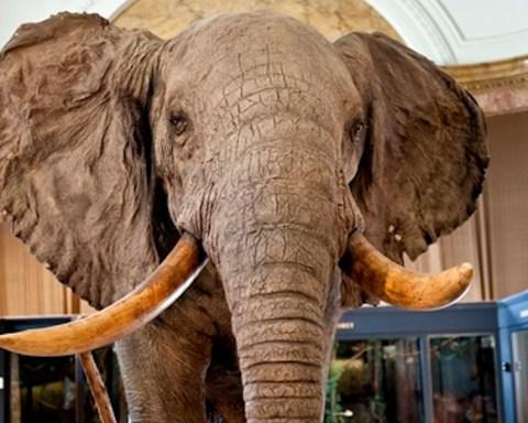 L'éléphant d'Afrique du Musée royal de l'Afrique Centrale est un éléphant de savane. © JD Burton MRAC