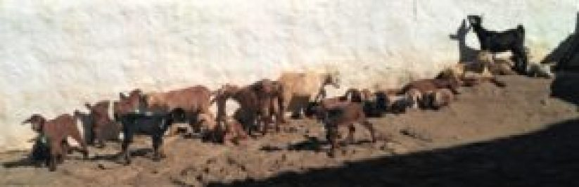 photo chevres marocaines large