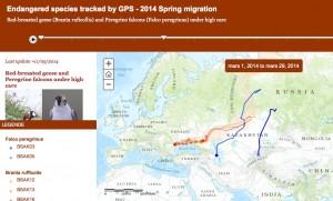 Surveillance des migrations des Bernaches à cou roux et des Faucons pèlerins via un émetteur GPS (IRSNB)