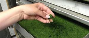 Concentré de mico-algues pour l'aquaculture